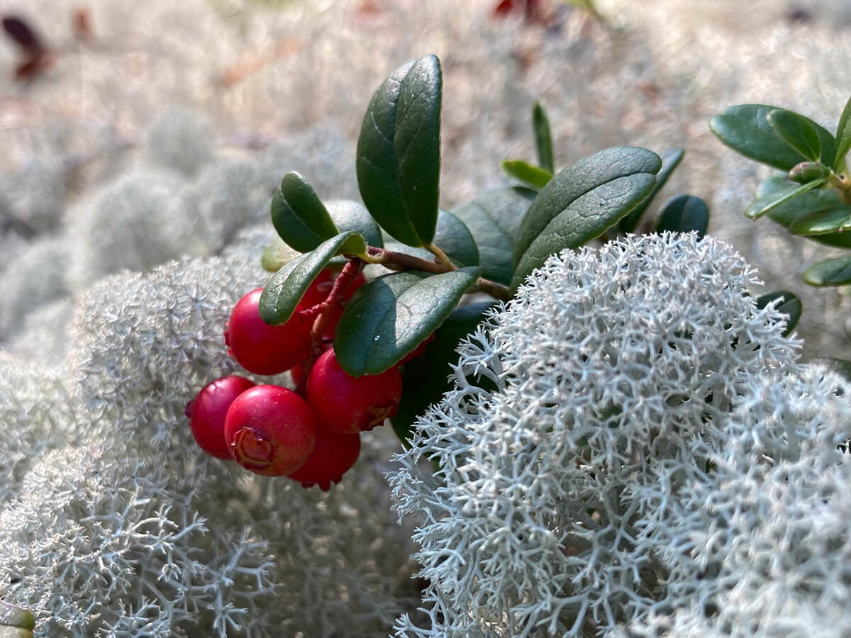 Inspiration from soft moss, lingonberries…